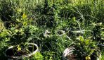 Plantacja marihuany pod podlaskim muzeum